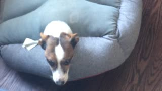 Jack Russell gets himself stuck in bed - Video