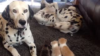 Dalmatian couple provide full service kitten daycare - Video