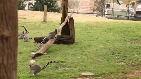 world of wildlife - Lemurs of Madagascar, Ring-Tailed Lemurs - Episode 3