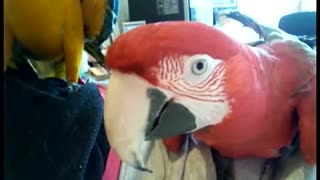 Farting Greenwing Macaw  - Video