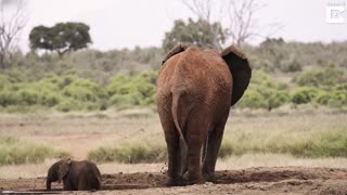 Adorable Baby Elephant Rescued From Waterhole - Video