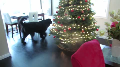 Giant Newfoundland dog plays hide and seek with toddler