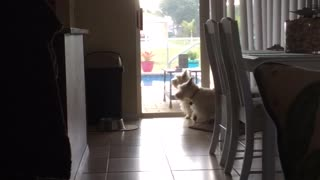 Excited Westie Wants Her Dad to See Something - Video