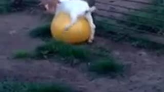 Goat plays with a yoga ball