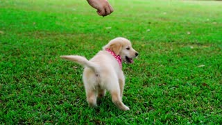 Golden retriever puppy is playing in the garden