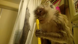Monkey knows fresh breath means a clean tongue - Video