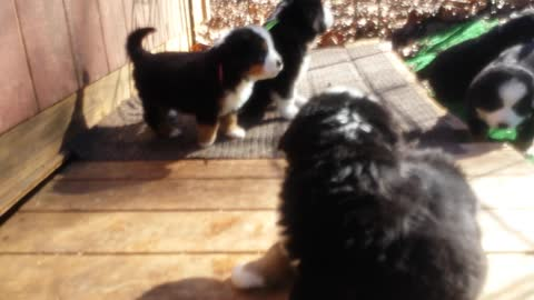 Bernese Puppies Exploring and Playing