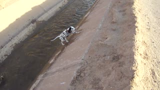 Curious Dalmatian puppy slips adorably into water - Video