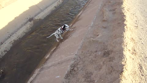 Curious Dalmatian puppy slips adorably into water