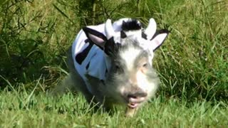 ADORABLE Mini Pig in COW COSTUME  - Video
