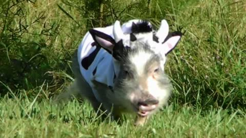 ADORABLE Mini Pig in COW COSTUME