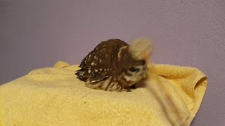 Owl Likes His Head Scratched - Video