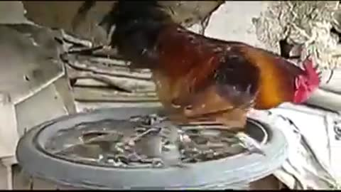 Rooster runs on rubber from bicycle