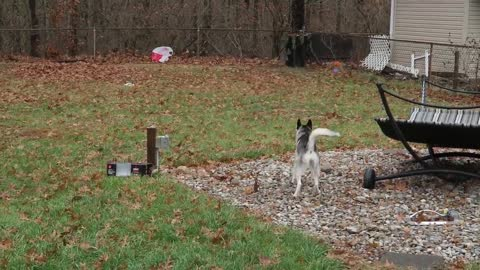 Husky puppy is not happy about the plastic bag in the backyard