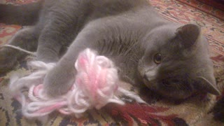 fanny cat playing - Video