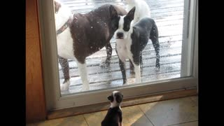 Pitbull and boston terrier mix puppy barks at parents - Video