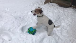 Silly Pup Loves Playing With His Ball In The Snow