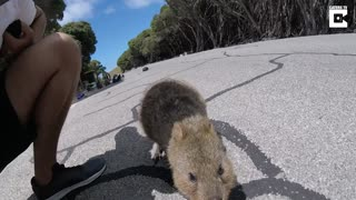 This Adorable Quokka Would Like Nothing More Than To Cuddle - Video