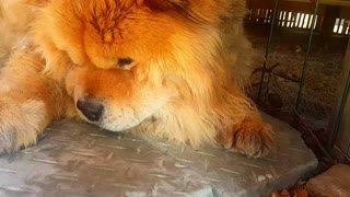 How To : Tips and Tricks : Chow at Home Grooming
