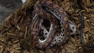Time lapse: Brazilian Rainbow Boa feeding time - Video