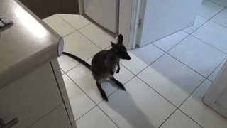 Young wallaby jumps all over hotel room - Video