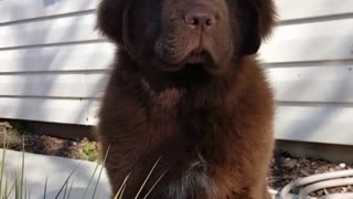 Adorable huge puppy contemplates life - Video