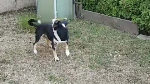 Dog Fighting With His Toy
