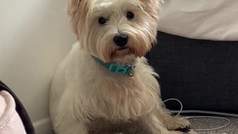 Westie puppy does the ultimate head turn when her owner mentions her favourite toy