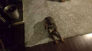 Tiny Pinscher Puppy Wants To Roll Over, But She Doesn't Know How - Video