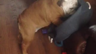 Gerald the Bulldog struggling. Once again. - Video