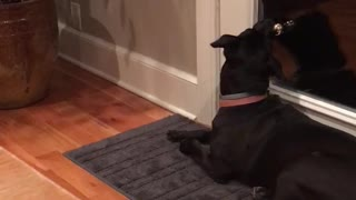 Black dog red collar swings jingle bell on door handle - Video