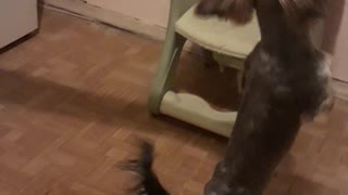 A dog asks for food  - Video