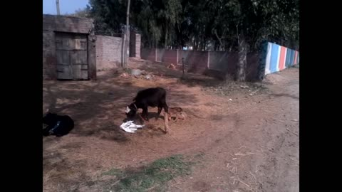 Dog baby  playing with buffalo baby
