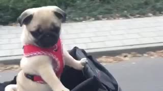 Pug puppy goes for super cute bike ride