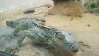 Boy thought the Lizard Would Move To Attack Him