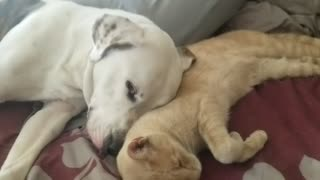 Pitbull and cat dont mix! Yeah right! Lol