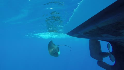 Giant stingray caught into invisible fishing line