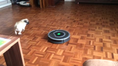 Hilarious Pug puppy vs Roomba