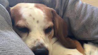 Cute Beagle Cuddling