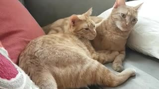 Two orange cats grooming each other and then start fighting