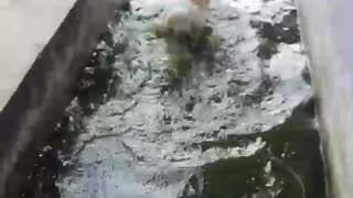 Dog takes a swim