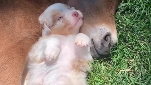 Puppy Cuddles And Naps With Baby Horse And It's The Cutest Thing Ever