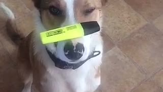 Dog one leg balancing a highlighter on its nose - Video