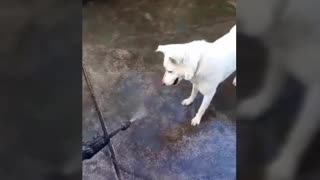 Funny dog trying to catch the water