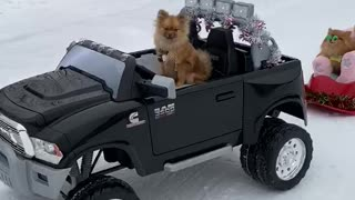 Pomeranian style sledding is the cutest thing ever!