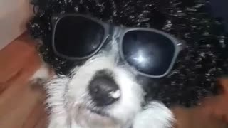 White an black dog wearing wig with glasses