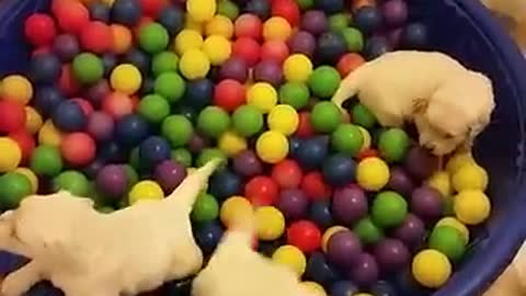 Golden Retriever Puppies Having A Ball In The Ball Pit