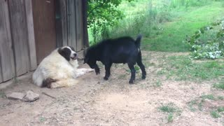 Goat annoys dog || Viral Video UK