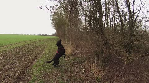 Amazing High Jump From A Determined Dog