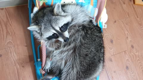 Pet raccoon chills out in the baby bouncer